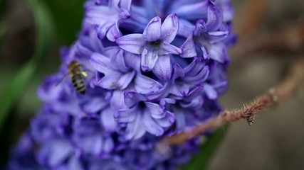 A bee and a Hyacinth