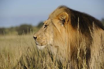 Lion (Panthera leo). Pride male  close-up