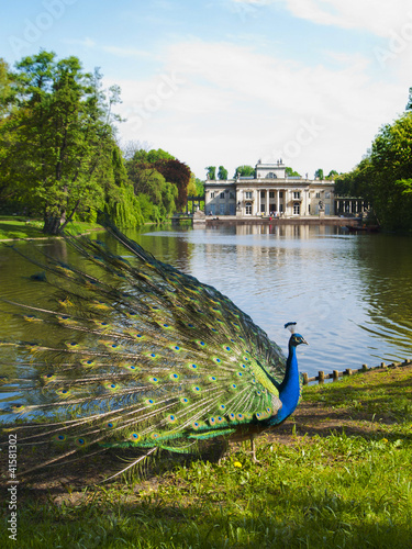 Tuinposter Pauw peacock in a classic park