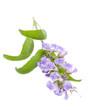 Salbei (Salvia officinalis) - Blüten liegend auf weiß