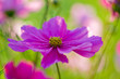 Summer garden - beautiful cosmos flowers