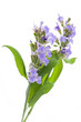 Salbei (Salvia officinalis) - Blüten auf weißem Hintergrund