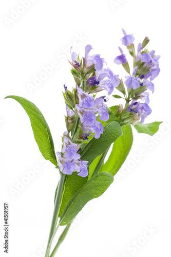 Leinwandbild Motiv Salbei (Salvia officinalis) - Blüten auf weißem Hintergrund
