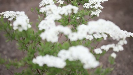 Little white flowers blooming bush