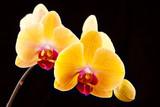 Fototapety beautiful yellow orchids on a black background