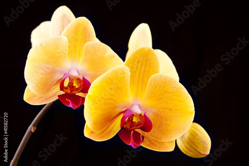 beautiful yellow orchids on a black background