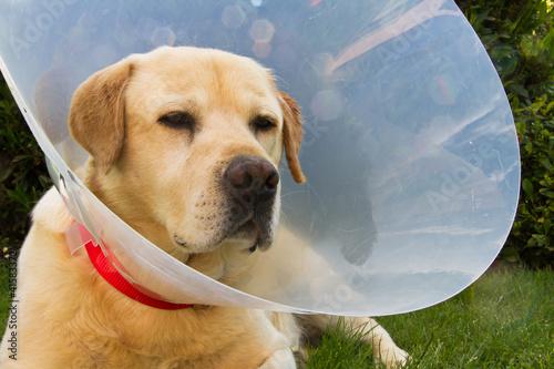 Cane malato con collare elisabettiano
