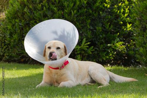 Cane convalescente in giardino