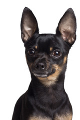 Toy terrier dog. Portrait on a white background