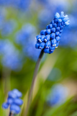 Spring Flowers muscari or grape hyacinth