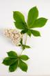 Aesculus hippocastanum / Marronnier commun