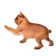 Dancing Griffon Bruxellois