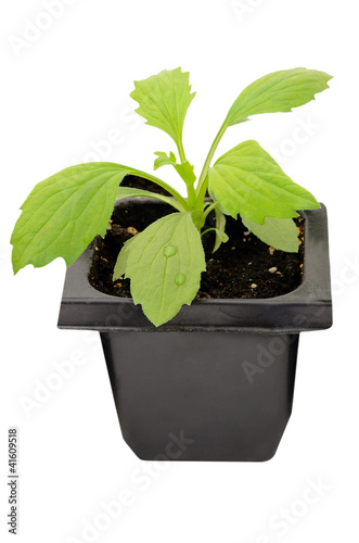 Young aster flower seedlings