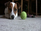 Jack Russel Terrier wird munter und streckt sich