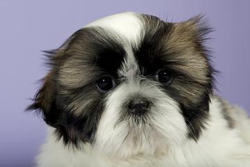 Hunde-Shih-Tzu 0813