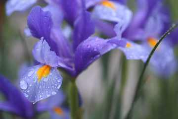 Blue colored iris flower