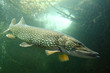 Underwater photo of a big Pike (Esox Lucius).