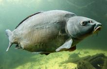 Podwodne zdjęcia dużego karpia (Cyprinus carpio).