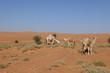 Kamel der Sahara