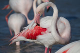 Close up of flamingo, Camargue, Provence, France
