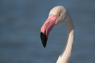 Portrait of a pink flamingo in Camargue