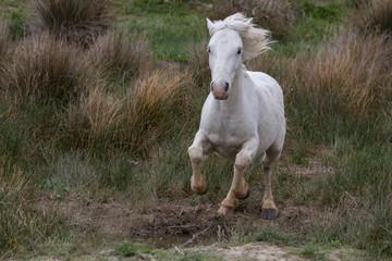 White camargue horse running