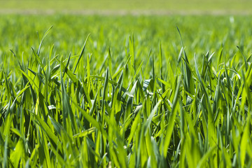 The green blade of grass in the spring close up