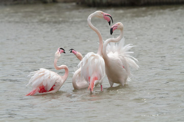 flamingos fighting in Camargue, France