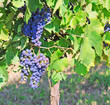 grapevine in chianti in fall, with bunches grapes