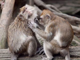 A monkey (crab eating macaque) grooming the other one.
