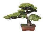 green bonsai pine