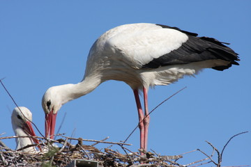 White stork (Ciconia ciconia) Couple on the nest