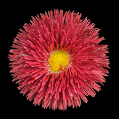 Red Perennial Daisy Flower Head with Yellow Center Isolated