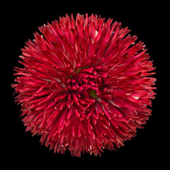 Beautiful Red Daisy Flower  Isolated on Black