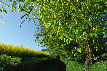 Trees, a path and oilseed rape