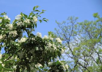 初夏の一つ葉タゴ Chionanthus retusus