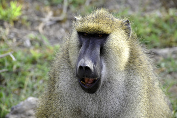 Funny monkey face in Africa