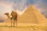 Fototapety Camel Standing Front Pyramids H