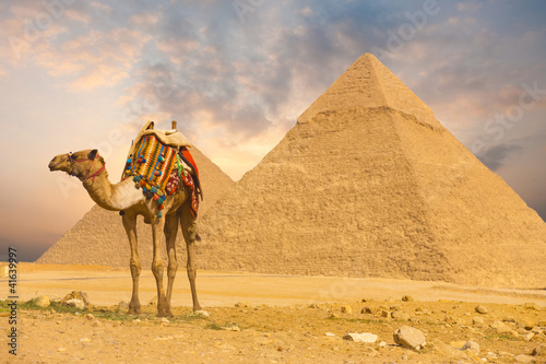 Tuinposter Egypte Camel Standing Front Pyramids H