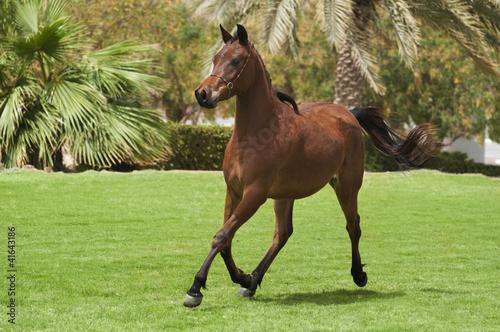Bay arabian foal