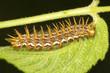 Marbled Fritillary caterpillar  / Brenthis daphne