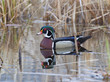 Swimming Drake Wood Duck