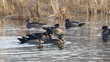 Flock Of Wood Ducks