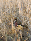 Drake And Hen Wood Duck poster