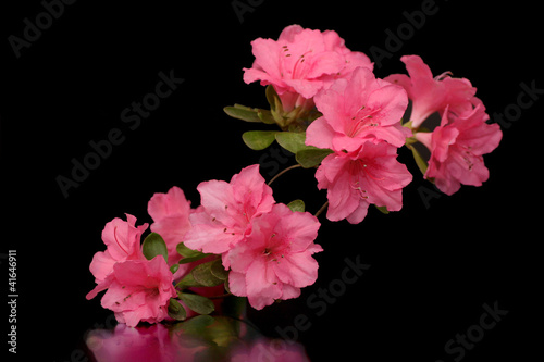 Deurstickers Azalea Azalea in Black