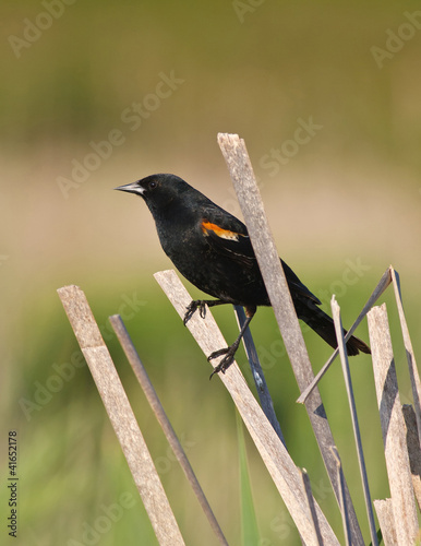 Blackbird on cattail reed