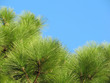 green branches of a pine in the blue sky
