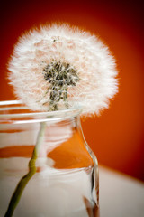 fiore di tarassaco in vasetto