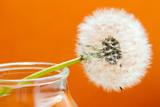 fiore di tarassaco su fondo arancio - 41660332