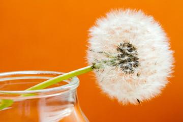 fiore di tarassaco su fondo arancio